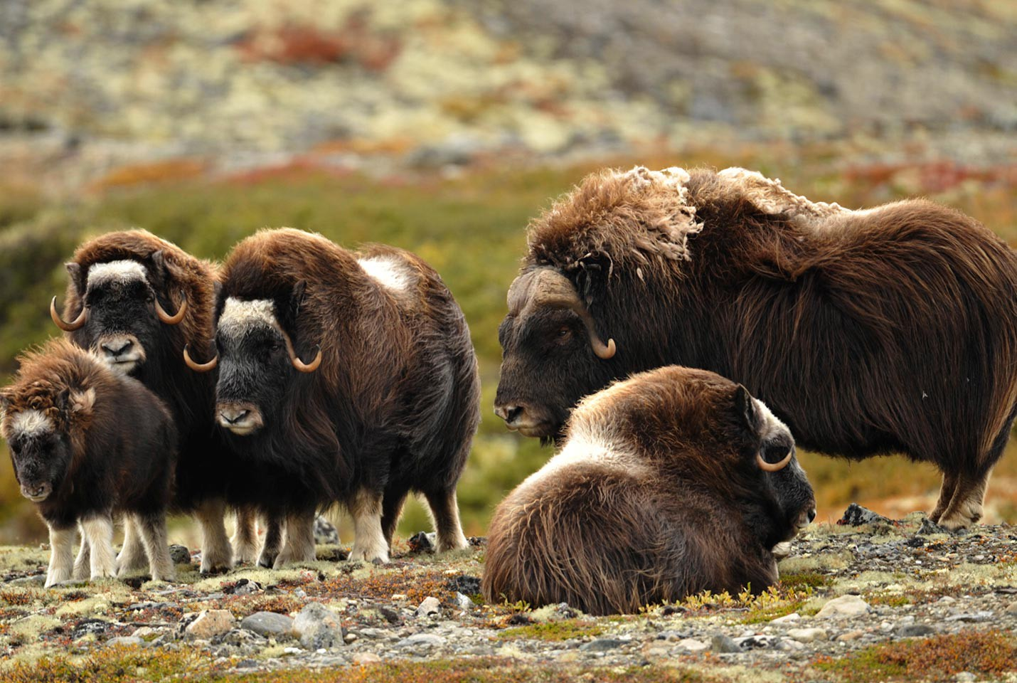 Afbeelding van Liv Musk Ox At Dovrefjell VisitNorway