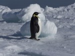 Keizerspinguin Expeditie Keizerspinguin Oceanwide Expeditions