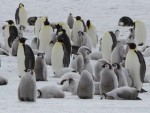 Keizerspinguin Expeditie Keizerspinguins Oceanwide Expeditions