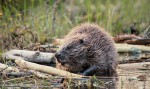 Bever Safari Nationaal Park Tiveden In Zweden Naturguidetiveden