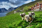 Hurtigruten Hotelrondreis Freyr Sheep Graze At Otternes Farm Aurland M Dickson Foap Visitnorway