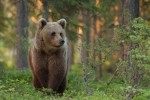 Kuhmo Wild Brown Bear Centre Harry Read 2015 Forest Hide 7