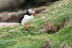 Papegaaiduiker-Fair-Isle-Oceanwide-Expeditions-Josh-Harrison.jpeg