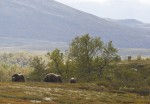 autotour-thor-musks-in-rondane-dovre-ch-visitnorway.com.jpg