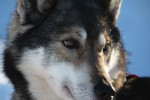 husky_face_medium_1437135536.jpg